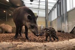 Dierenpark Zie-Zoo verwelkomt baby Tapir, 'het was een verrassing'