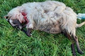 Wolf waarschijnlijk actief in Boekel: 'Drie schapen zijn dood en hun vlees ligt meters verderop'